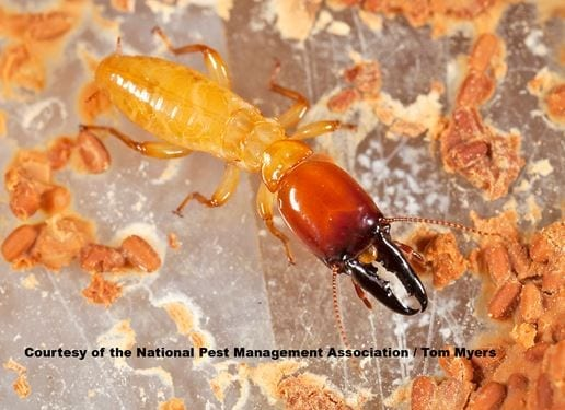zoom in photo of a dampwood termite