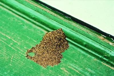 Termite dust when termites consume on wooden planks