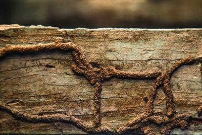 Termite Trails formed during termite infestation on a wooden plank