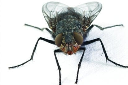 House flies for pest control