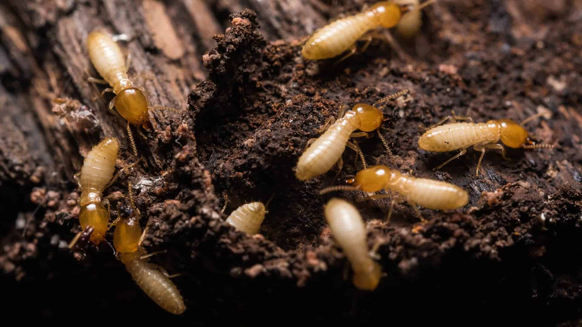 Pest control service Pest control company Termite control service Termite pest control Bed bugs elimination service Bed bugs treatment Bed bugs removal service Cockroach elimination service Disinfection misting service Mosquito fogging service active termites crawling in the soil